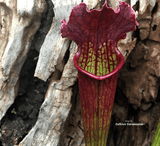 TRUMPET PITCHER:  Sarracenia Velvet (Special Hybrid) for sale | Buy carnivorous plants and seeds online @ South Africa's leading online plant nursery, Cultivo Carnivores