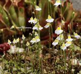 BLADDERWORT: Utricularia Bisquamata for sale | Buy carnivorous plants and seeds online @ South Africa's leading online plant nursery, Cultivo Carnivores