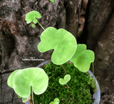 BLADDERWORT: Utricularia Nelumbifolia x Reniformis for sale | Buy carnivorous plants and seeds online @ South Africa's leading online plant nursery, Cultivo Carnivores