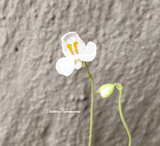 BLADDERWORT: Utricularia Nephrophylla (White Flower) for sale | Buy carnivorous plants and seeds online @ South Africa's leading online plant nursery, Cultivo Carnivores