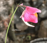 BLADDERWORT: Utricularia Quelchii loc Llu Tepui for sale | Buy carnivorous plants and seeds online @ South Africa's leading online plant nursery, Cultivo Carnivores
