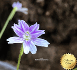 BUTTERWORT (Mexican): Pinguicula Emarginata for sale | Buy carnivorous plants and seeds online @ South Africa's leading online plant nursery, Cultivo Carnivores