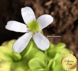 BUTTERWORT (Mexican): Pinguicula Ibarrae for sale | Buy carnivorous plants and seeds online @ South Africa's leading online plant nursery, Cultivo Carnivores