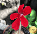 BUTTERWORT (Mexican): Pinguicula Laueana Narrow Flower Red for sale | Buy carnivorous plants and seeds online @ South Africa's leading online plant nursery, Cultivo Carnivores
