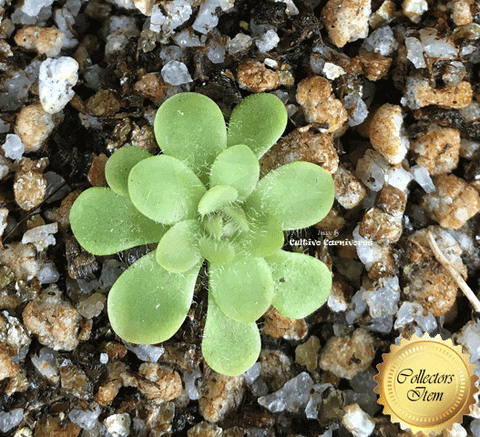 BUTTERWORT (Mexican): Pinguicula Rotundiflora x Gracilis for sale | Buy carnivorous plants and seeds online @ South Africa's leading online plant nursery, Cultivo Carnivores