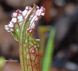 TRUMPET PITCHER:  Sarracenia Leucophylla, Mostly Red & White Tops for sale | Buy carnivorous plants and seeds online @ South Africa's leading online plant nursery, Cultivo Carnivores