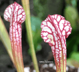 TRUMPET PITCHER:  Sarracenia Leucophylla loc Walton co (Seedgrown) for sale | Buy carnivorous plants and seeds online @ South Africa's leading online plant nursery, Cultivo Carnivores