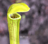 TRUMPET PITCHER:  Sarracenia Nandipha for sale | Buy carnivorous plants and seeds online @ South Africa's leading online plant nursery, Cultivo Carnivores