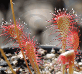 SUNDEW: Drosera Capillaris - Pasco Giant for sale | Buy carnivorous plants and seeds online @ South Africa's leading online plant nursery, Cultivo Carnivores