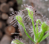 SUNDEW: Drosera Madagascariensis for sale | Buy carnivorous plants and seeds online @ South Africa's leading online plant nursery, Cultivo Carnivores