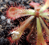 SUNDEW: Drosera Venusta (The Elegant Sundew) for sale | Buy carnivorous plants and seeds online @ South Africa's leading online plant nursery, Cultivo Carnivores