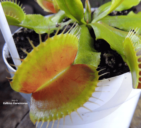 VENUS FLYTRAP:  NO ID for sale | Buy carnivorous plants and seeds online @ South Africa's leading online plant nursery, Cultivo Carnivores