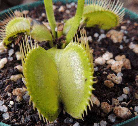 VENUS FLYTRAP:  Giant All Green Goddess for sale | Buy carnivorous plants and seeds online @ South Africa's leading online plant nursery, Cultivo Carnivores