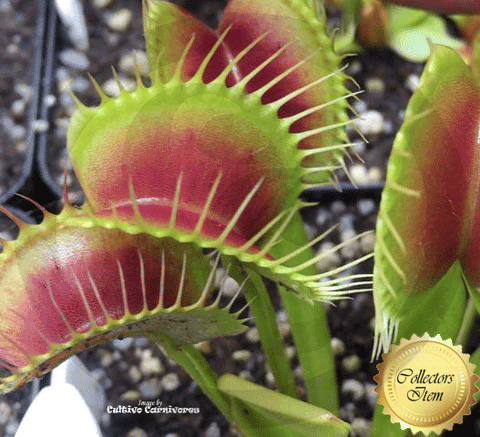 VENUS FLYTRAP:  ARPC for sale | Buy carnivorous plants and seeds online @ South Africa's leading online plant nursery, Cultivo Carnivores