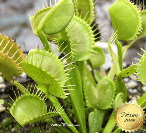 VENUS FLYTRAP: Cerberus | Buy carnivorous plants and seeds online @ South Africa's leading online plant nursery, Cultivo Carnivores