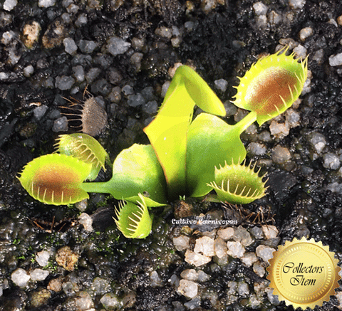 VENUS FLYTRAP:  Cupped Trap for sale | Buy carnivorous plants and seeds online @ South Africa's leading online plant nursery, Cultivo Carnivores