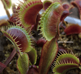 VENUS FLYTRAP:  Maroon Monster for sale | Buy carnivorous plants and seeds online @ South Africa's leading online plant nursery, Cultivo Carnivores