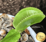 VENUS FLYTRAP:  Microdent for sale | Buy carnivorous plants and seeds online @ South Africa's leading online plant nursery, Cultivo Carnivores