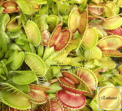VENUS FLYTRAP:  Cultivo's Monster Mix (Seed grown) for sale | Buy carnivorous plants and seeds online @ South Africa's leading online plant nursery, Cultivo Carnivores