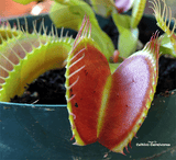 VENUS FLYTRAP:  Monster Traps for sale | Buy carnivorous plants and seeds online @ South Africa's leading online plant nursery, Cultivo Carnivores