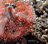 SUNDEW:  Drosera Burmannii loc Humpty Doo for sale | Buy carnivorous plants and seeds online @ South Africa's leading online plant nursery, Cultivo Carnivores