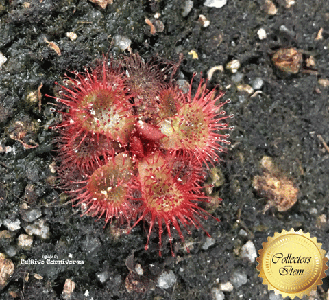 SUNDEW: Drosera Slackii (Slack's Sundew) for sale | Buy carnivorous plants and seeds online @ South Africa's leading online plant nursery, Cultivo Carnivores