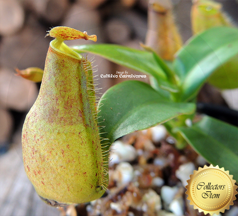 Nepenthes Gracilis (Squat) - Personal Collection for sale | Buy carnivorous plants and seeds online @ South Africa's leading online plant nursery, Cultivo Carnivores