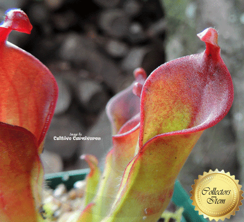 SUNPITCHER: Heliamphora Heterodoxa x Minor for sale | Buy carnivorous plants and seeds online @ South Africa's leading online plant nursery, Cultivo Carnivores