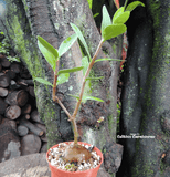 ANT PLANT: Hydnophytum Formicarum for sale | Buy carnivorous plants and seeds online @ South Africa's leading online plant nursery, Cultivo Carnivores