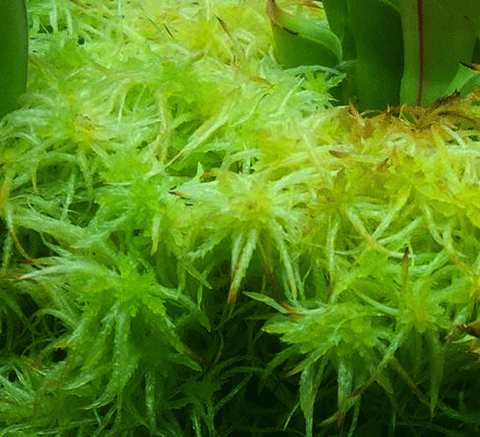 ... Live Sphagnum Moss   Green / Red For Sale | Buy Carnivorous Plants And  Seeds Online ...