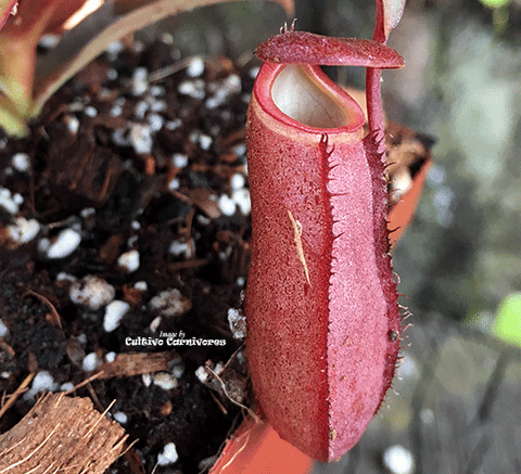TROPICAL PITCHER PLANT: Nepenthes Red Bell for sale | Buy carnivorous plants and seeds online @ South Africa's leading online plant nursery, Cultivo Carnivores