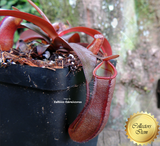 TROPICAL PITCHER PLANT: Nepenthes Sanguinea for sale | Buy carnivorous plants and seeds online @ South Africa's leading online plant nursery, Cultivo Carnivores