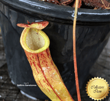 TROPICAL PITCHER PLANT: Nepenthes Eustachya x Tenius for sale | Buy carnivorous plants and seeds online @ South Africa's leading online plant nursery, Cultivo Carnivores