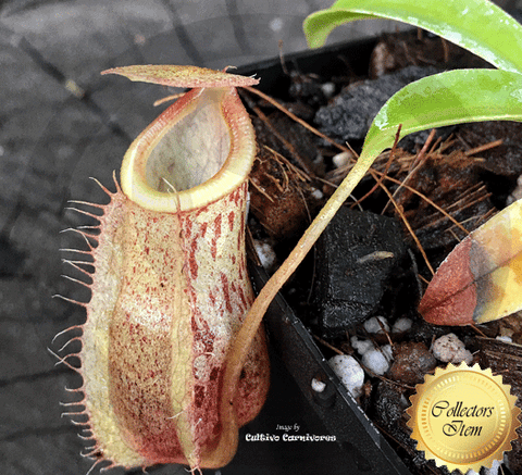 TROPICAL PITCHER PLANT: Nepenthes Spathulata x Glabrata for sale | Buy carnivorous plants and seeds online @ South Africa's leading online plant nursery, Cultivo Carnivores