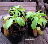 TROPICAL PITCHER PLANT: Cultivo's mixed Nepenthes for sale | Buy carnivorous plants and seeds online @ South Africa's leading online plant nursery, Cultivo Carnivores