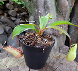 Nepenthes Mirabilis squat - Personal Collection for sale | Buy carnivorous plants and seeds online @ South Africa's leading online plant nursery, Cultivo Carnivores