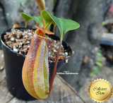 Tropical pitcher plant:  Nepenthes Thorelii x Truncata - Exotica Plants for sale | Buy carnivorous plants and seeds online @ South Africa's leading online plant nursery, Cultivo Carnivores