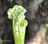 TRUMPET PITCHER:  Sarracenia Leucophylla, Hurricane Creek White for sale | Buy carnivorous plants and seeds online @ South Africa's leading online plant nursery, Cultivo Carnivores
