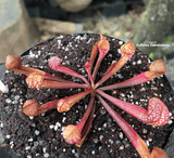 PARROT PITCHER:  Sarracenia Psittacina for sale | Buy carnivorous plants and seeds online @ South Africa's leading online plant nursery, Cultivo Carnivores