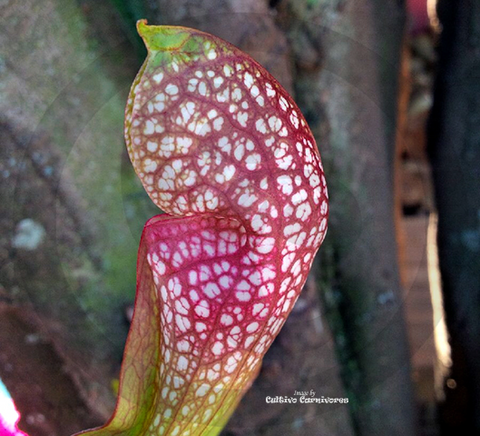 TRUMPET PITCHER:  Sarracenia Scarlet Belle for sale | Buy carnivorous plants and seeds online @ South Africa's leading online plant nursery, Cultivo Carnivores