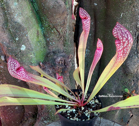 Sarracenia Scarlet Belle for sale | Buy carnivorous plants and seeds online @ South Africa's leading online plant nursery, Cultivo Carnivores