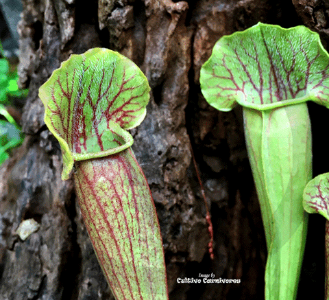 TRUMPET PITCHER:  Sarracenia Barba (Special Hybrid) for sale | Buy carnivorous plants and seeds online @ South Africa's leading online plant nursery, Cultivo Carnivores