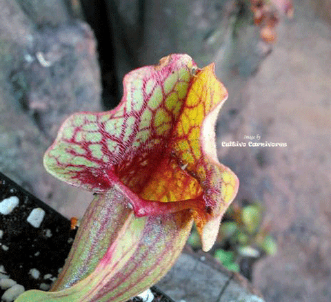 PURPLE PITCHER PLANT:  Sarracenia Purpurea ssp. venosa (Heavy veined) for sale | Buy carnivorous plants and seeds online @ South Africa's leading online plant nursery, Cultivo Carnivores