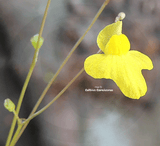 BLADDERWORT:  Utricularia Subulata for sale | Buy carnivorous plants and seeds online @ South Africa's leading online plant nursery, Cultivo Carnivores