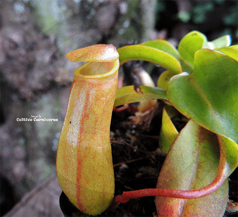 TROPICAL PITCHER PLANT: Nepenthes Ventricosa x (Ventricosa x Inermis) for sale | Buy carnivorous plants and seeds online @ South Africa's leading online plant nursery, Cultivo Carnivores