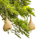 Cacoon's are inspired by the weaver bird nest