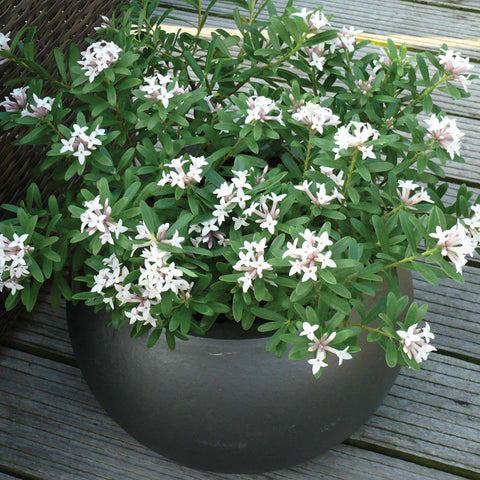 Plant for Spa Living Pots Daphne Transatlantica Eternal Fragrance