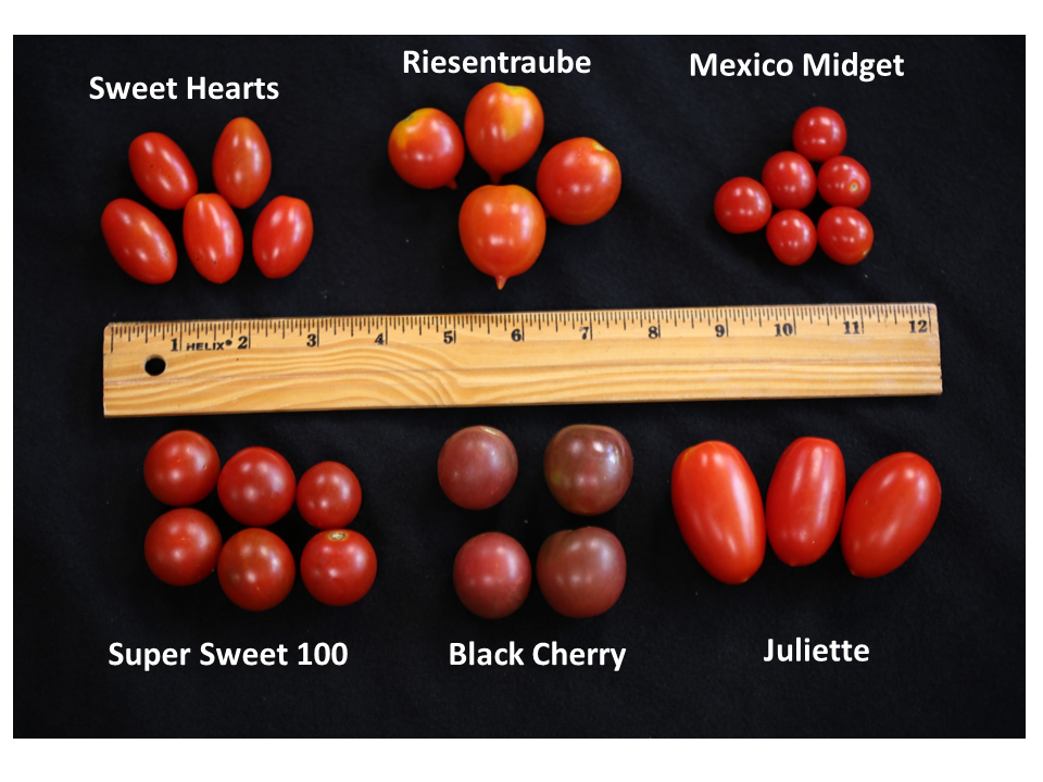 Review of some varieties of Tomatoes from John Olive