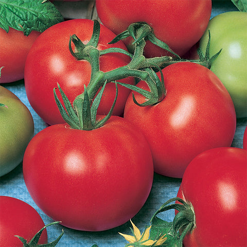 *On sale Feb.19* Tomato Plant - Fireworks (2 plants)