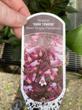 Penstemon 'Dark Towers' - Beard Tongue
